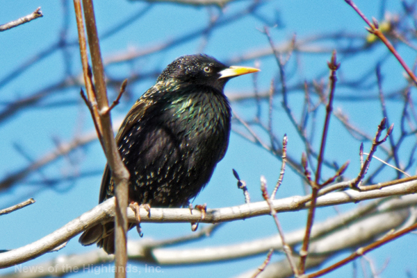 Photo by Jason Kaplan This European Starling was spotted basking in the morning sun. The reflected rays showed off its iridescent plumage.