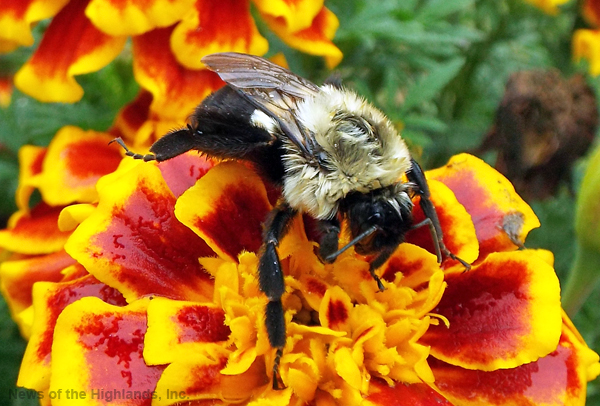Photo by Jason Kaplan Summer is over and fall has just begun. The leaves are changing colors and days are getting colder. Bumblebees can be seen foraging for last minute pollen before flowers start to wilt and die.
