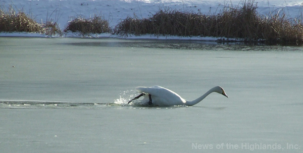 Photo by Jason Kaplan The Town of Cornwall's swan found it difficult to swim, Wednesday morning. A minor snow storm, combined with cold temperatures, left a layer of slush on top of Rings Pond.