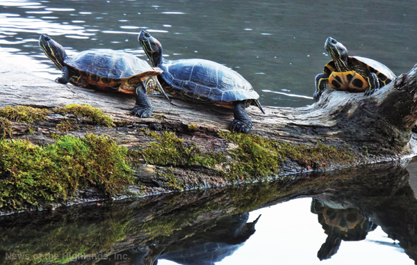 Photo by Jason Kaplan These turtles make the most of the waning days of summer by relaxing on a log adjacent to Bear Mountain State Park's Hessian Lake.
